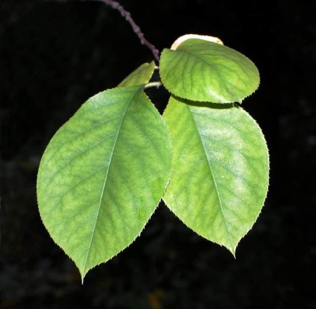 cydonia sinensis