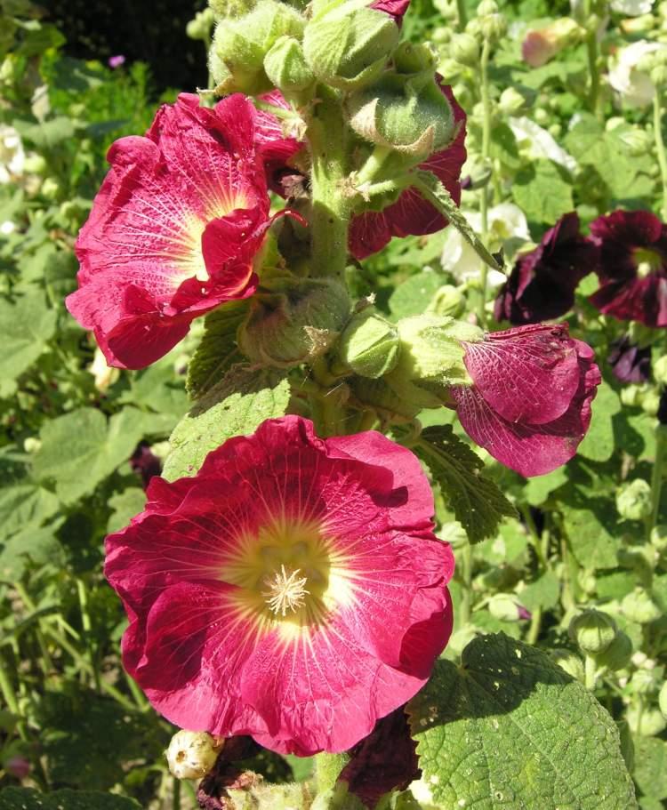 Althaea rosea l cav hollyhock for Alcea rosea