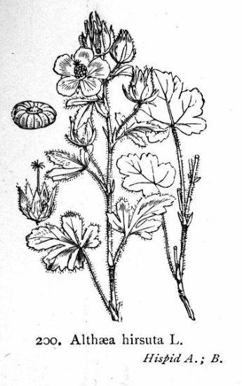 Allspice - Enciclopedia online - Preparation/form, Cultivation ...